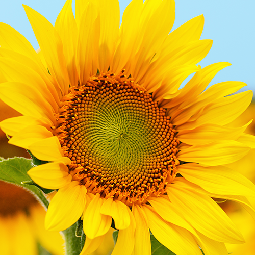 Sunflower planting event at Studfold Adventure Trail